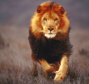 Настоящий лев